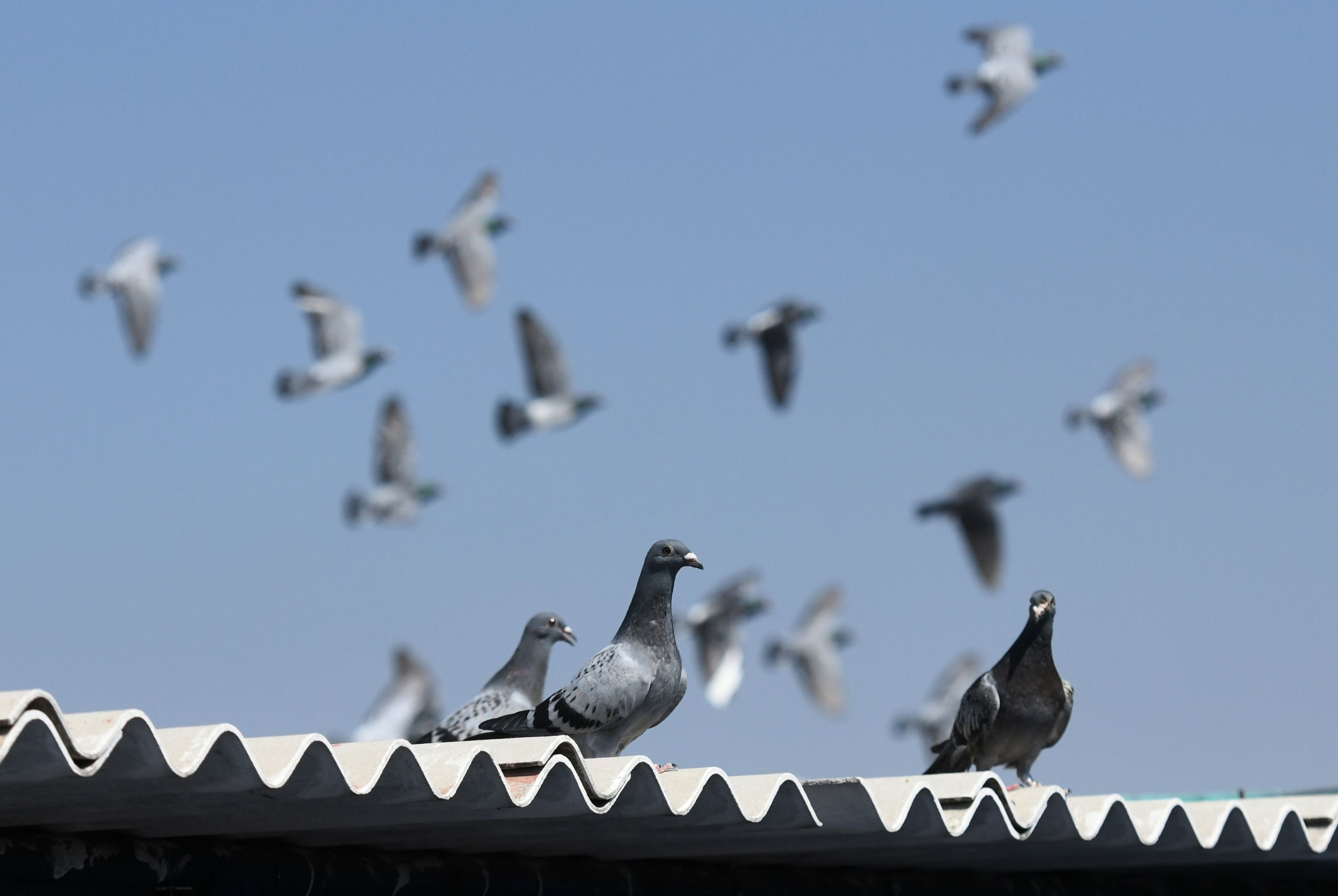 Indiana Fire Kills Nearly 2 000 Racing Pigeons One Day Before Worldwide Competition