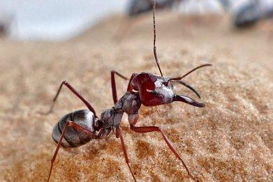 Saharan Silver Ant
