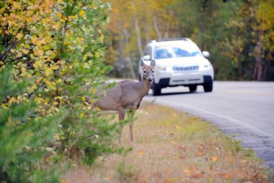 Deer standing by road with car approaching