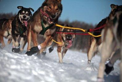 Iditarod, Alaska, Dogs