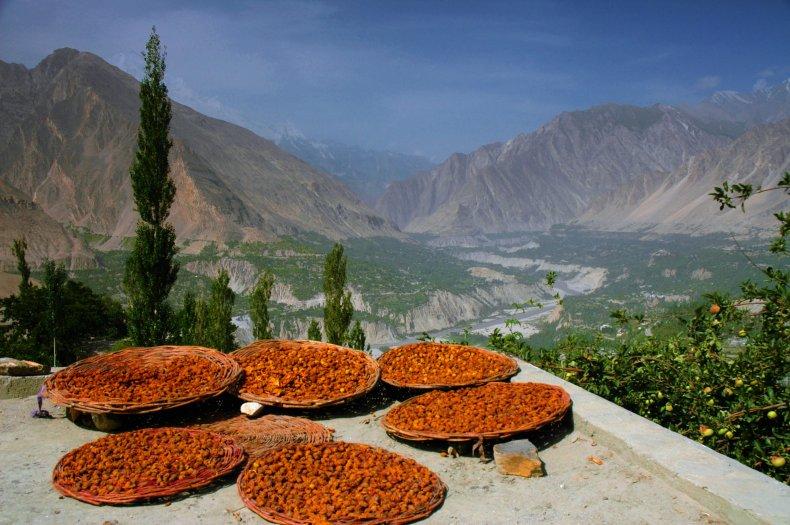Hunza apricots in Pakistan.