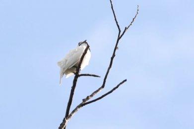 white bellbird, loudest call, current biolgy, bird