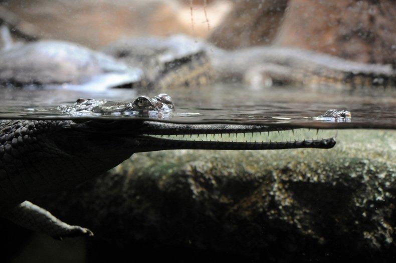 Indian gharial crocodile