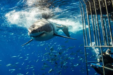 great white shark, guadalupe Island, mexico, stock,getty