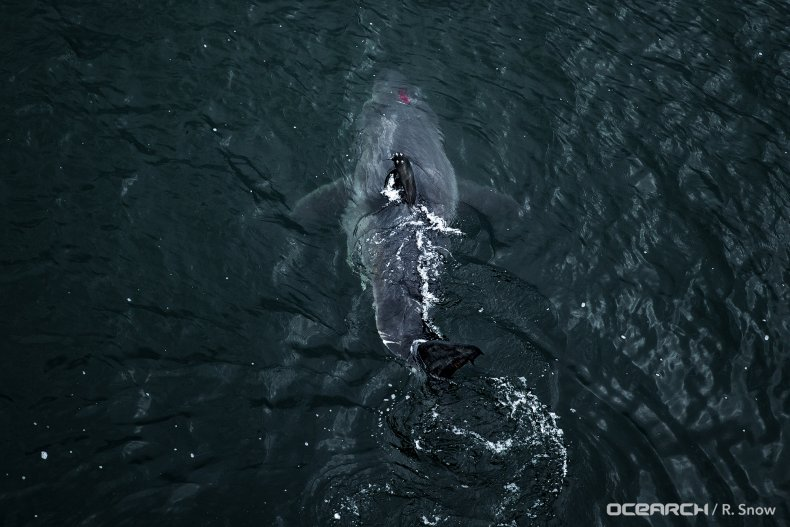 great white shark, vimy, north atlantic, ocearch