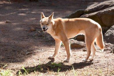 adult dingo
