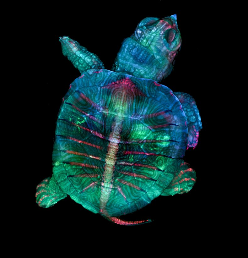 Turtle embryo wins Small World competition