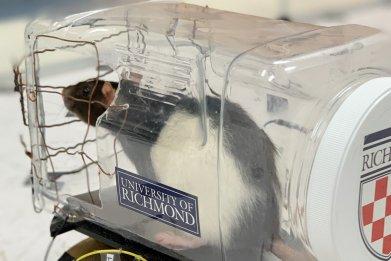 Rat driving a car