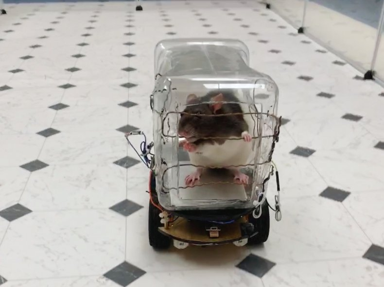 rat steering car