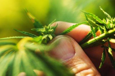 hemp, cannabis, farming