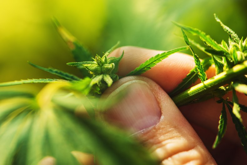 hemp, cannabis, farming