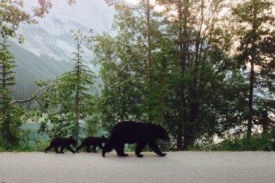 Mama Black Bear and Cubs