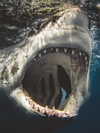 great white shark, Guadalupe Island, diving,