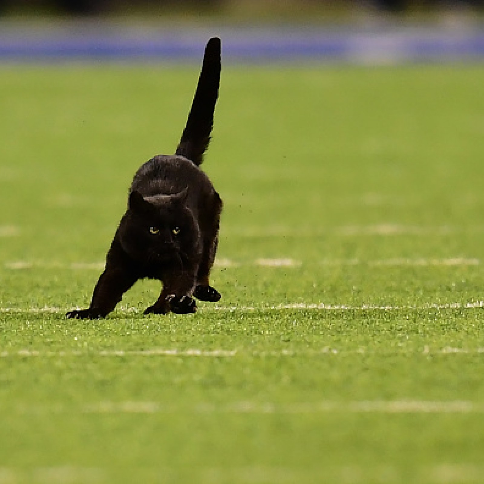 Black Cat Storms The Field On Monday Night Football Wins
