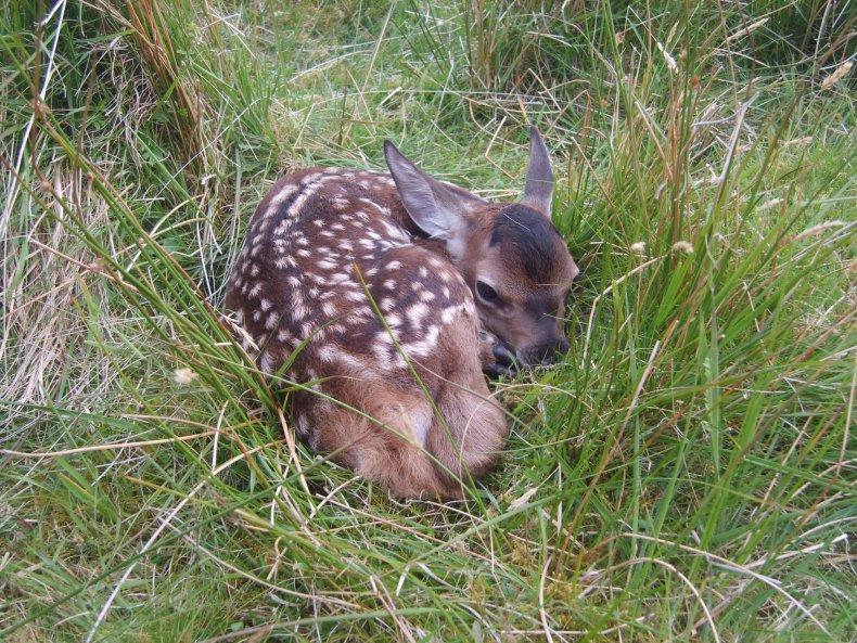 red deer calf, Isle of Rum, Scotland