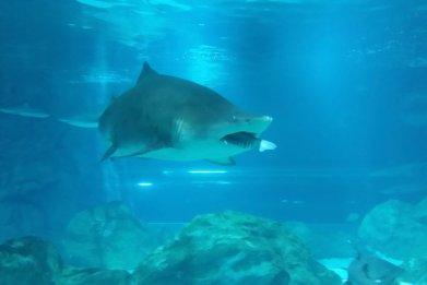 Tiger shark in Seoul