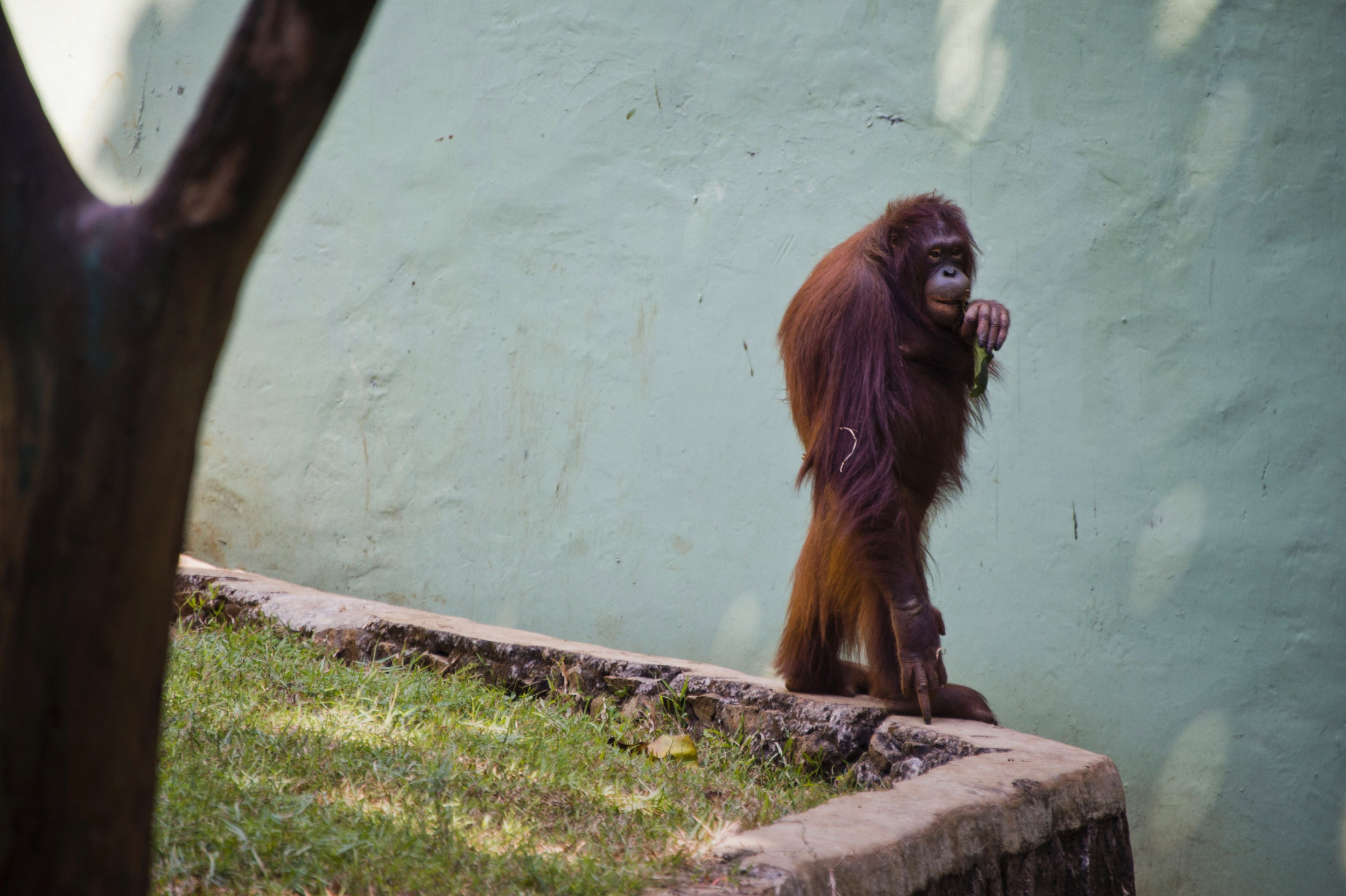 Orangutan Granted Legal Personhood, Moves to Florida, Becomes Florida Woman