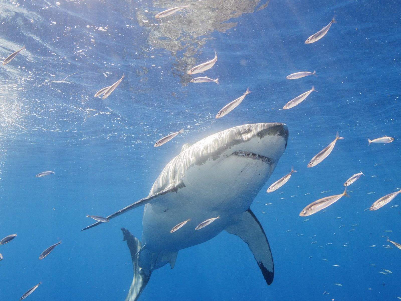 Shark Wallpaper Uk - Wallpaper Collection