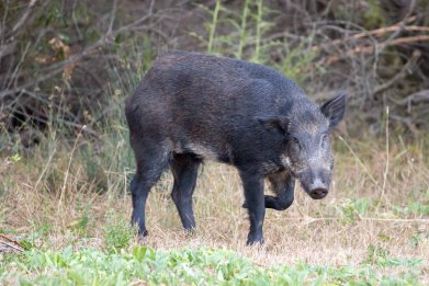A feral pig in the wild