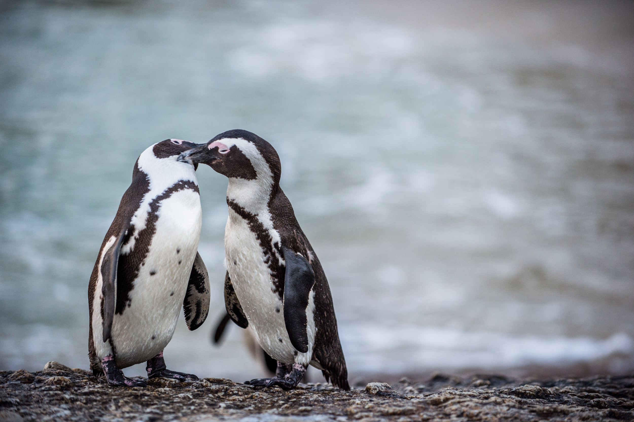 Gay Penguins in Zoo Steal Egg in Attempt to Become Dads - Newsweek