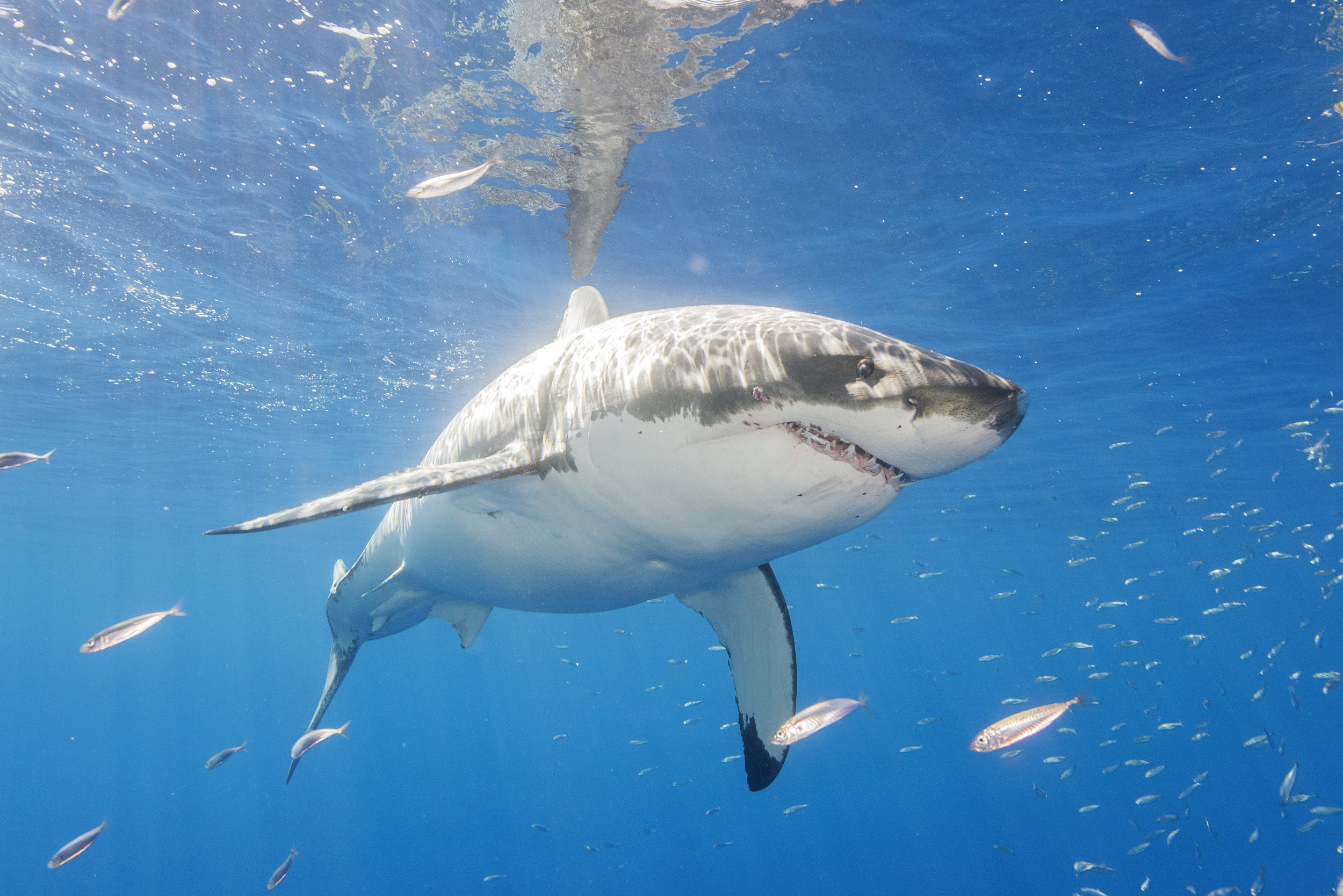 A 533-POUND GREAT WHITE SHARK HAS BEEN TRACKED SWIMMING INLAND ON THE NORTH CAROLINA COAST