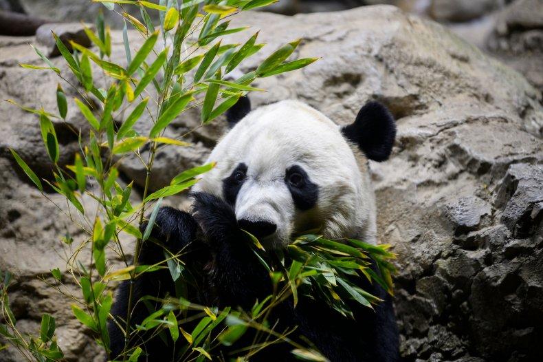 Giant Panda Bei Bei