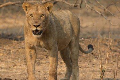 A sub-adult male lion
