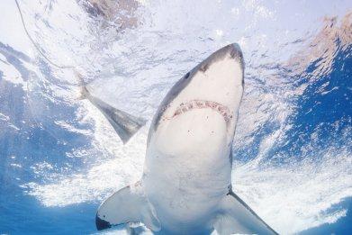 Great White Shark Underside