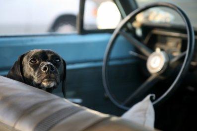 black lab dog behind wheel of car