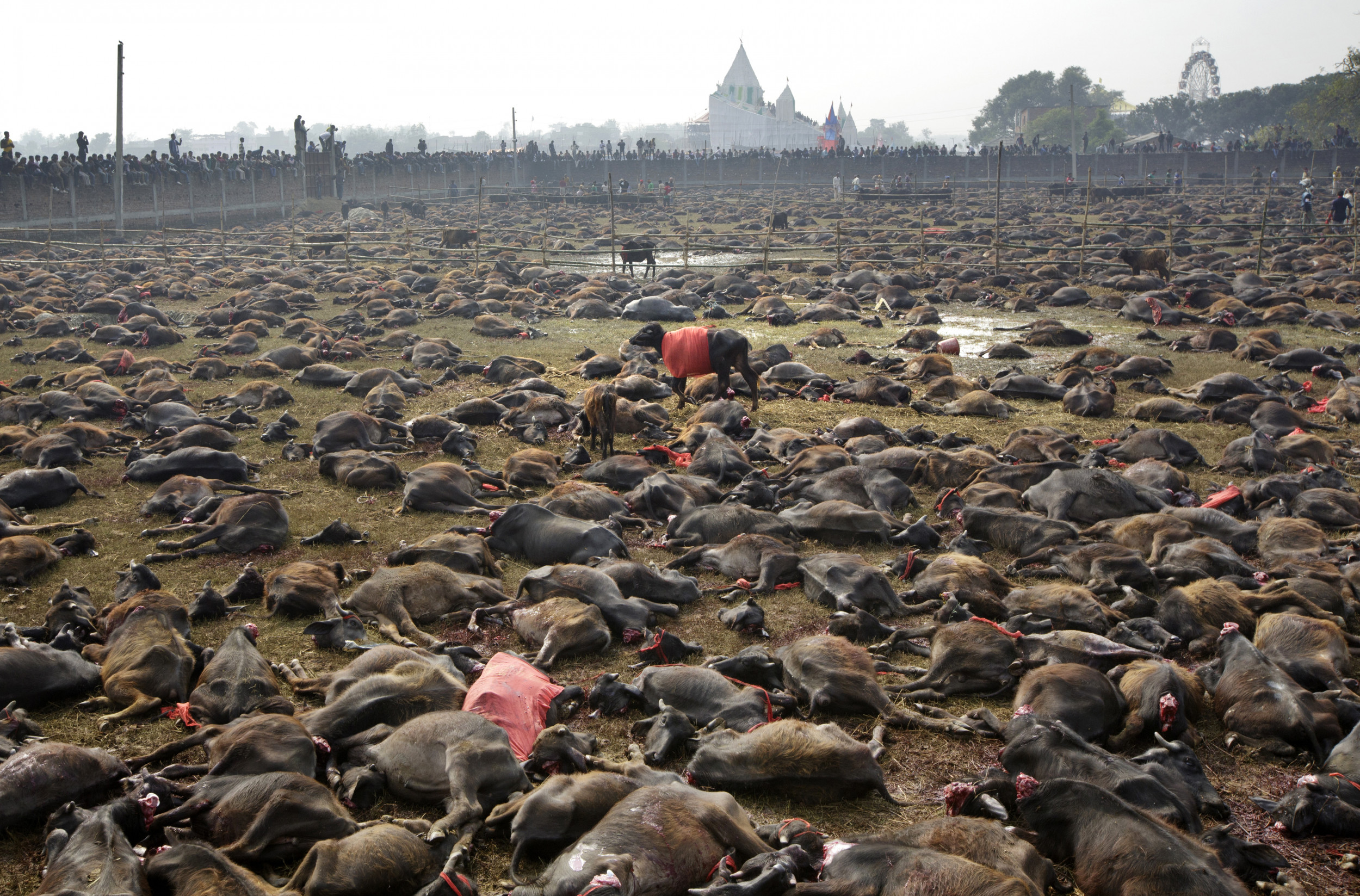 Картинки по запросу World's 'largest animal sacrifice' starts in Nepal