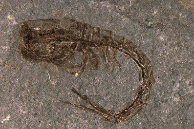 comma shrimp