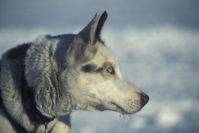 arctic sledge dog
