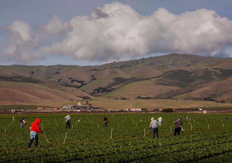 Farmers tend to lettuce