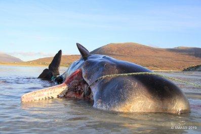 Sperm Whale Stranding