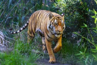 bengal tiger, animal, wildlife, stock, getty