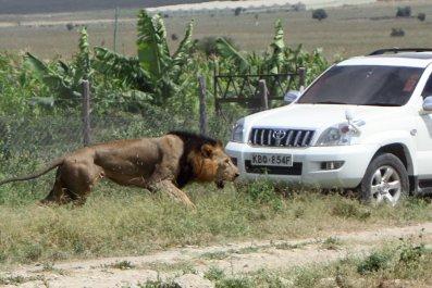 Nairobi lion