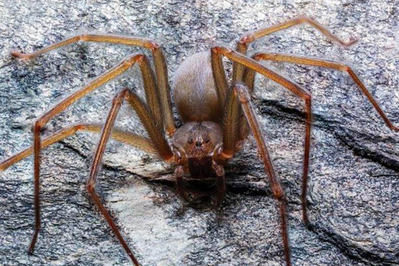 venomous spider, Loxosceles tenochtitlan