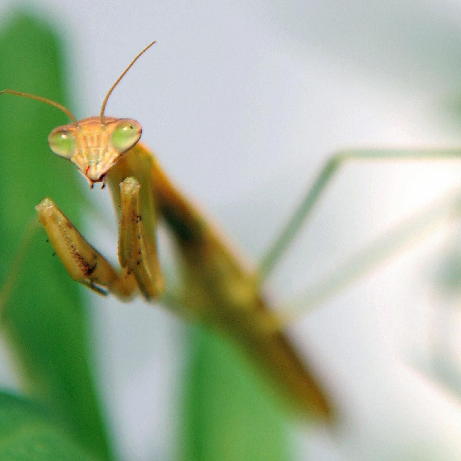 praying mantis baby hatching