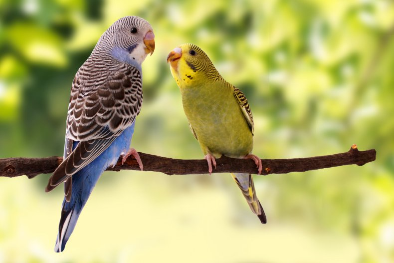 Two parakeets on a tree branch
