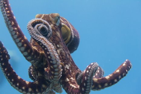 octopus swimming pacific ocean