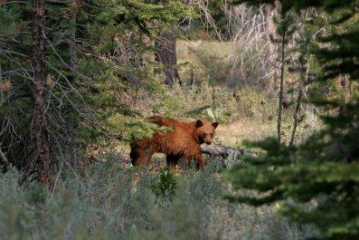Brown bear south lake tahoe