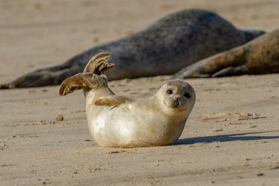 Seal Pup Norfolk England