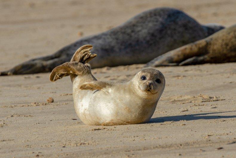 Seal Pup Norfolk England