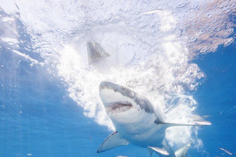 shark attack leg australia great white