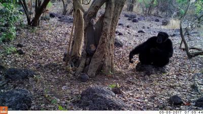 chimp throwing stones at tree