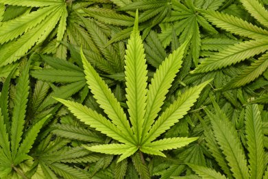cannabis leaf, stock, getty, weed, marijuana,