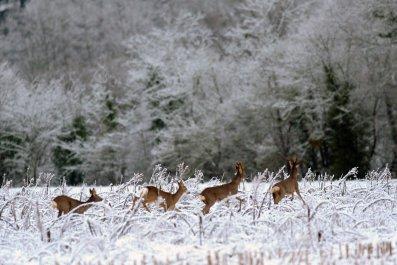 Deers snow field near Oloron-Sainte-Marie france