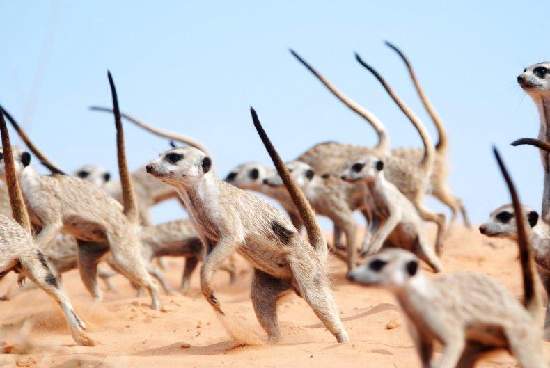 meerkat, war dance