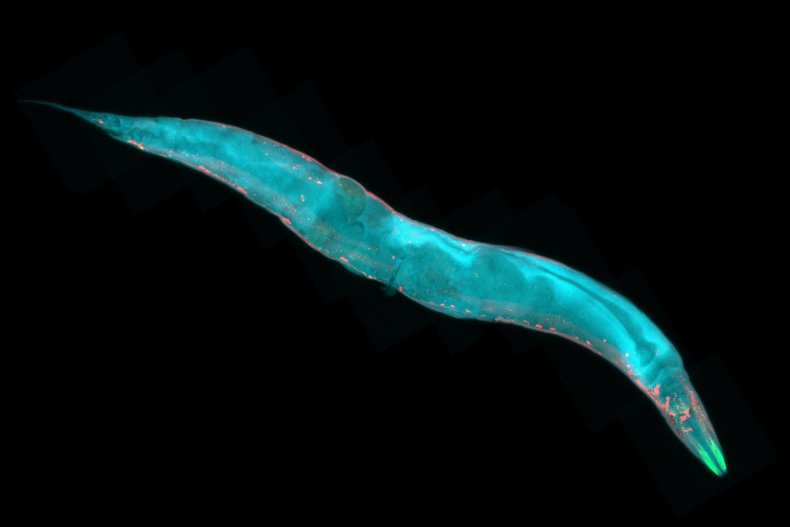 Caenorhabditis elegans roundworm