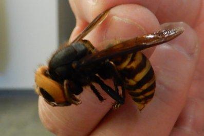 asian giant hornet, washington state, WSDA